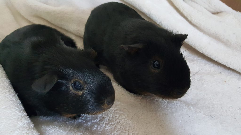 two identical black baby guinea pigs