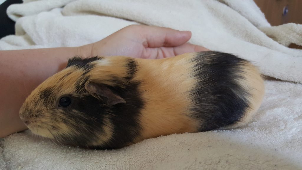 girl baby guinea pig with cream and black streaks