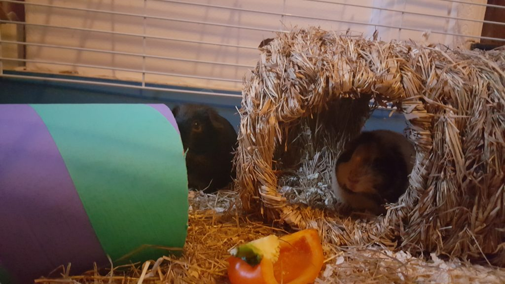 two guinea pigs in a cage, one in a house one lying next to it