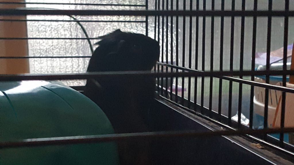 baby black guinea pig standing up and looking out of his cage