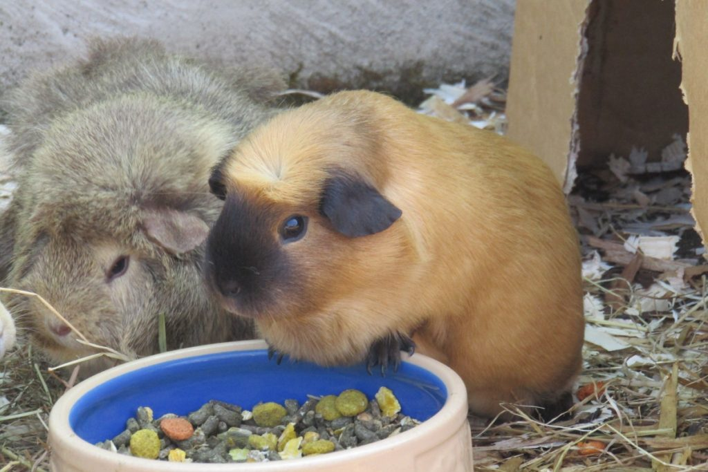 two guinea pigs eating from a bowl