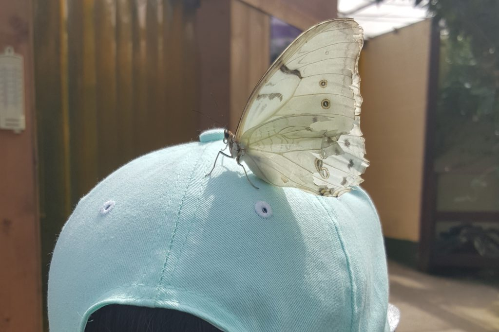 butterfly on a hat