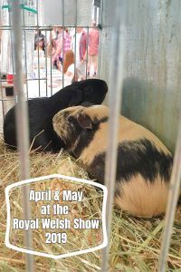 two guinea pigs, one black one cream and black in a cage at the Royal Welsh show 2019. Text says April and May at the Royal Welsh Show 2019